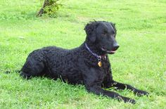 """The agile Curly-Coated Retriever is also known as the Curly, the CCR and the Curly Retriever. Most people who hear the word """"Retriever"""" instantly picture a Golden or a Labrador but the Curly, he's in a league of his own. His tight, little curls of the body combines with the short coat on the face [...]"""