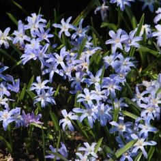 Chionodoxa luciliae - Sneeuwroem - Lucile's Glory-of-the-snow | 3-4 | 15 cm | Plantdiepte 5 cm | Plantafstand 5 cm #verwildering
