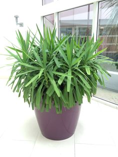 Multi stem Yucca in office reception