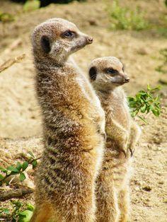 Meerkats by Schattenjager