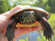 「Painted turtle」の画像検索結果