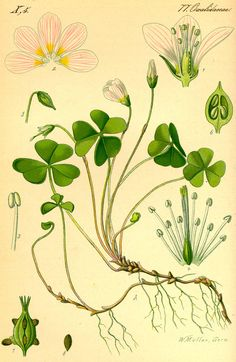 Oxalis acetosella or common wood sorrel. In Finnish, this edible green is known as käenkaali or ketunleipä /Wikipedia. Vintage Botanical Prints, Botanical Drawings, Botanical Art, Vintage Botanical Illustration, Illustration Botanique, Plant Illustration, Oxalis Acetosella, Impressions Botaniques, Wood Sorrel