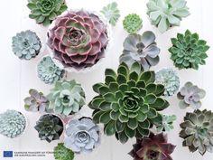 Die Echeverie ist die Zimmerpflanze des Monats August - pflanzenfreude.de