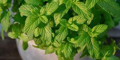 7 μυστικά για φύτευση και καλλιέργεια δυόσμου | Τα Μυστικά του Κήπου Spinach, Herbalism, Herbs, Vegetables, Plants, Image, Food, Gardening, Decoration