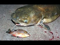 How to catch catfish with bluegill - fishing for catfish with bluegill - YouTube