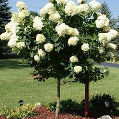 The Dwarf Tree with Giant Blooms -  Nothing says summer like huge, colorful blooms on a small tree.  That's exactly what the Limelight Hydrangea delivers season after season. But not just any blooms. The Limelight's floral display gets started early, in an eye-popping show sure to beautify your garden.  Pastel-like colors...