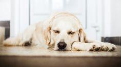 Asiantuntija:+Koirat+näkevät+unta+omistajistaan+–+tieto+sai+koiraihmiset+liikuttumaan