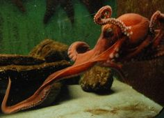 Octopus 2 by freckledgirl on DeviantArt Red Octopus, Cuttlefish, Tentacle, Pirates, Octopuses, Deviantart, Cute, Heaven, Painting