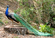 Peafowl will fly short distances or fly in an emergency.  They can be found roosting in trees.