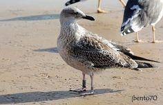 Birding Cascais: Gaivota-d'asa-escura / Lesser Black-backed Gull (L...