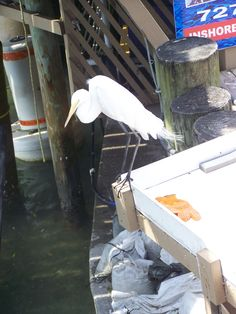 beautiful bird at the fish cleaning station