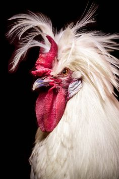 This rooster has attitude. - title Rooster - Macro photography