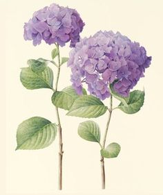 """Hydrangea"" - Watercolour by Cheryl Wilbraham"