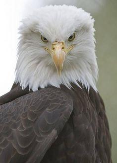 Bald Eagle of Prey From Pin Board Pretty Birds, Love Birds, Beautiful Birds, Animals Beautiful, Cute Animals, Eagle Animals, Wild Animals, Beautiful Pictures, The Eagles