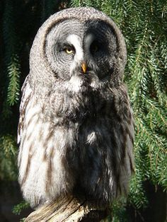 Great Grey Owl – It is one of the largest owls in the world and has an extremely long tail.