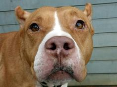 10/10/14 SL***RESCUED: NOW NEEDS A HOME!!*** NAME: MANDY AGE: 5 YEARS OLD BREED: PIT MIX WEIGHT: 59 LBS LOCATION: HOWARD BEACH, NY - Rebound Hounds Res-Q