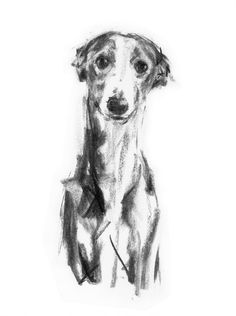 Gentle Whippet - Print of an original Charcoal Drawing by Justine Osborne at the Stockbridge Gallery Dogs in Art