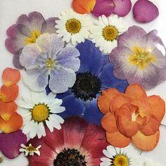 1.押し花用の乾燥シートを使って花をはさむと短時間で水分が抜けるので、花本来の美しい色を保ったまま押し花にすることができます。 2.上から重しをのせて、約1週間できれいな押し花が完成します。