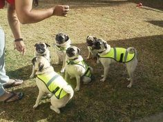 Flashback Friday November 8, 2013 • Join The Pugs