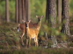 deer national geographic - Căutare Google