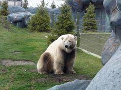 Grolar Bears. Wild cross between Polar Bears and Brown Bears. Their behavior is more like the Polar bear.