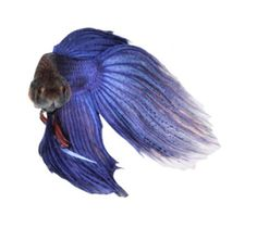 Our Tribute To The Fish Formerly Known As Prince Betta, Lion Sculpture, Prince, Fish, Friends, Art, Amigos, Art Background, Pisces
