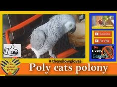 I filmed this beautiful African Grey Parrot eating polony. African Grey Parrots are super c. Yellow Gloves, African Grey Parrot, Pets, Projects, Animals, Log Projects, Blue Prints, Animales, Animaux