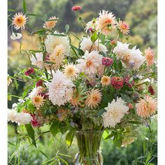 Dinner plate flowers of Café au Lait dahlia collection flowers morph from ivory to peach, coffee to cream.Great with contrast from Henriette. THE crowd pleaser.