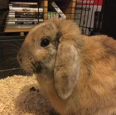 Nikkipedia: Fudge is home after his neutering. So glad to have him home. Looks a bit down in the dumps but wouldn't you be after that operation. #bunniesofinstagram #mixedlop #bunny #rabbit #instabunny #bunnystagram #bunnygram #bunnyrabbit #bunnylove #bunniesoftheworld #housebunny #rabbitstagram #rabbitsworldwide #bunniesworldwide #petsofig #fudge #Fudgesdiary #harlequinlop #furbaby #neutering #neutered l