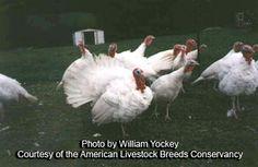 Midget White Turkeys