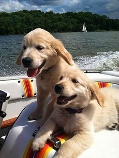Two Beautiful Golden Retriever puppy,
