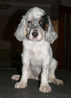 Dogs: English Setter Puppy