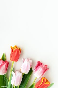 Pink and orange tulips on blank white background template | premium image by rawpixel.com / Ake Flower Backgrounds, Wallpaper Backgrounds, Wallpapers, Blank White Background, Cicely Mary Barker, Birthday Frames, Image Fun, Background Templates, Flower Frame