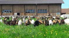 Sicht von der Weide zum Stall Penguins, Animals, Animales, Animaux, Penguin, Animal, Animais