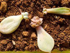 Faire des boutures de plantes grasses