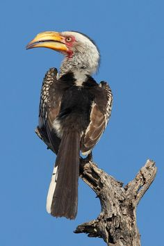 The Southern Yellow-billed Hornbill - Tockus leucomelas, is a common, medium-sized bird found in all areas of southern Africa where there is scrub and acacia woodland.