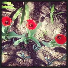 Three times as nice! Garden tulips, Johannesburg, South Africa