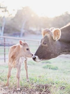 Baby animals and their mothers calves 63 Ideas - Baby Animals - tierbabys Cute Baby Animals, Animals And Pets, Wild Animals, Beautiful Creatures, Animals Beautiful, Amor Animal, Gado, Baby Cows, Baby Elephants