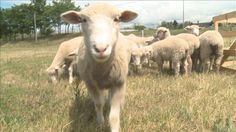 Sheep used to cut grass along Shoreway!