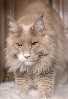 My little lynx - Jiyuu of Roswell maine coon crème smoke et blanc 19 mois mâle