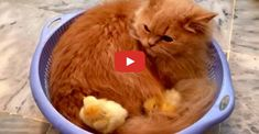 Meet Bonnie the Cat who has become the Surrogate Mum of two Little Baby Chicks - Unlikely Friendships