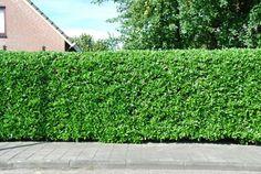 hecke pflanzen kirschlorbeer garten ideen exterieur