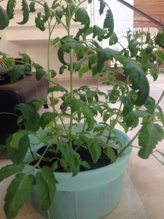 Las plantas de jitomate se estaban poniendo triste debido a el calor y falta de agua, las moví un poco mas a la sombra para que no les llegara tanto la luz. (ya resolvimos ese problema).