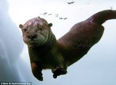 Image result for river otters
