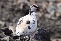 https://flic.kr/p/JTsrWE | Rock Ptarmigan | Rock ptarmigan are year-round residents of Kodiak Refuge, changing their plumage from snowy white in the winter to mottled brown, white and black in the summer.   Photo: Tamara Payton/USFWS