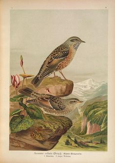v. 1 (1905) - Naumann, - Naturgeschichte der Vögel Mitteleuropas.