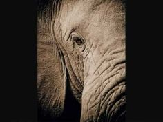 """Each species is a masterpiece, a creation assembled with extreme care and genius."" These words of Edward O. Wilson perfectly capture the fragile existence o. Elephant Gif, Elephant Love, Elephant Videos, May We All, Dear Sister, Strong Family, Human Behavior, Gentle Giant, My Ride"