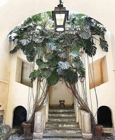 This 100 year old monstera is growing in a small town in southern Italy called Falerna Marina. Give a name to this fabulous queen! Best Indoor Plants, Cool Plants, Green Plants, Tropical Garden, Tropical Plants, Exotic Plants, Pilea Peperomiodes, Decoration Plante, Hanging Plants
