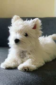 All Types Of Dogs, Cute Funny Dogs, White Terrier, Puppy Pictures, Westies, Little Dogs, Ponies, Small Dogs, Puppy Love