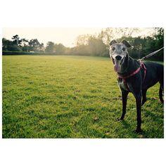 Heeey belladog!!  #igdogs #greyhound #greyhoundig #dogsofinsta #instadog  #summer #sun #nature #animalportrait #natureshot #sunset #cute #nikon #nikonclub #nikond3200
